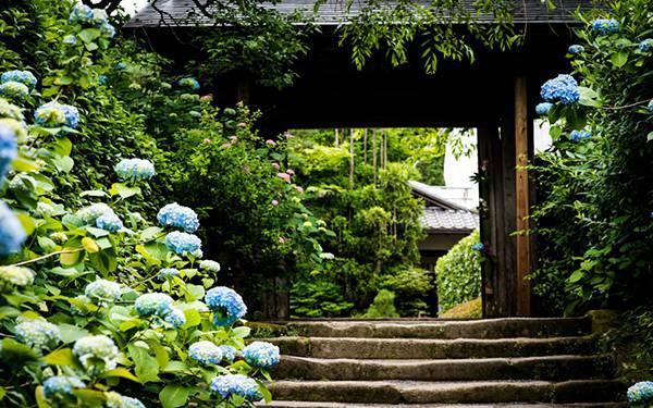 07.門の前の咲いたアジサイの花を撮影した風情のある写真壁紙画像