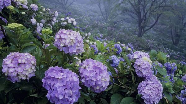 08.アジサイのお花畑を撮影した綺麗な写真壁紙画像