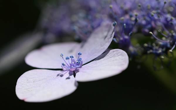 09.アジサイの花びらをマクロ撮影した可愛い写真壁紙画像