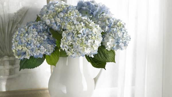 11.花瓶にさしたいっぱいの紫陽花の花の美しい写真壁紙画像
