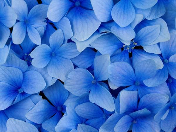 12.画面いっぱいに紫陽花を撮影した美しい写真壁紙画像