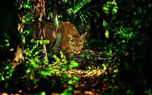 06.ジャングルを歩く豹を撮影したカッコイイ写真壁紙画像
