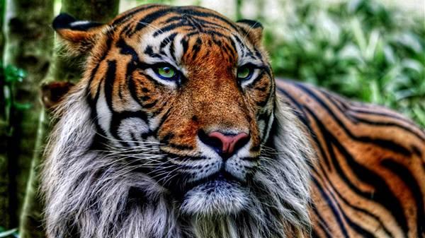 07.立派な髭をたくわえたジャングルの虎を撮影したカッコイイ写真壁紙画像