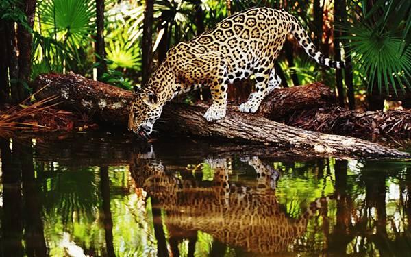 08.川の水を飲む豹を撮影したカッコイイ写真壁紙画像