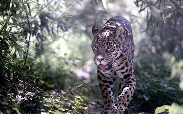 09.ジャングルの森を練り歩く豹のカッコイイ写真壁紙画像