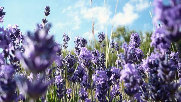 01.綺麗な紫色のラベンダーの花を撮影した写真壁紙画像