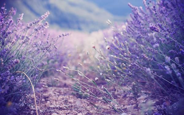 04.ラベンダー畑を紫の色調で統一して撮影した写真壁紙画像