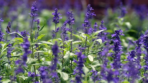 06.ラベンダー畑の花を浅い被写界深度で撮影した綺麗な写真壁紙画像