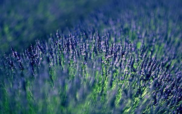 07.ラベンダーの花々を浅い被写界深度で撮影した繊細な写真壁紙画像