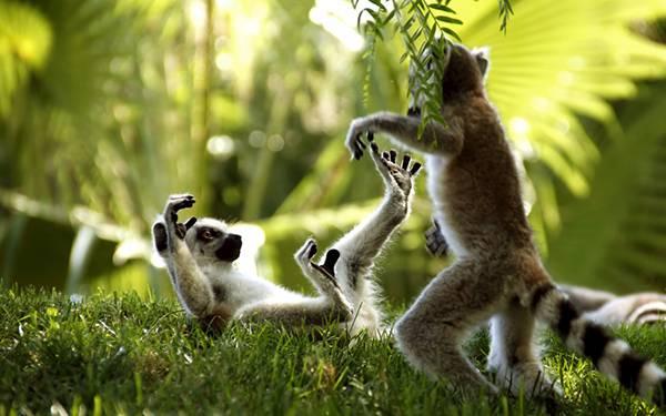 01.兄弟で遊ぶ二匹のキツネザルを撮影した可愛い写真壁紙画像