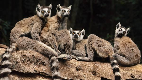 02.木の上に集まったキツネザル達を撮影した可愛い写真壁紙画像