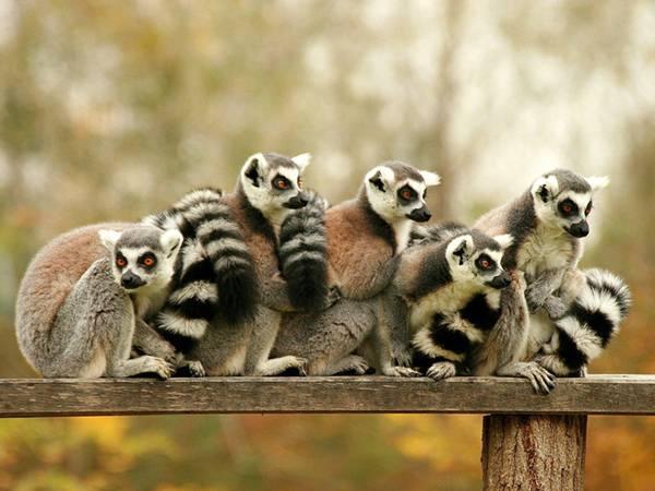 09.集まって温め合うキツネザルの群れの可愛い写真壁紙画像
