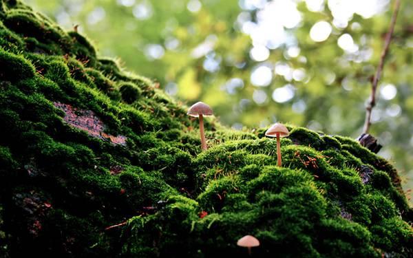 01.苔の中に生える小さなきのこを撮影した綺麗な写真壁紙画像