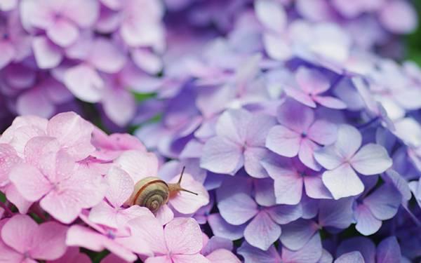 05.紫陽花の上のカタツムリの綺麗で可愛い写真壁紙画像