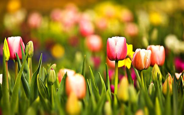 07.カラフルなチューリップの花を撮影した綺麗な写真壁紙画像