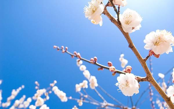 09.桜の花と青空を撮影した爽やかな写真壁紙画像
