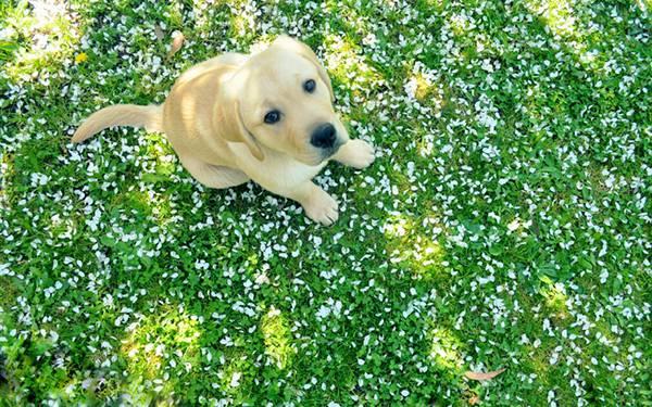 10.花びらの落ちた芝の上に座る犬を撮影した可愛い写真壁紙画像
