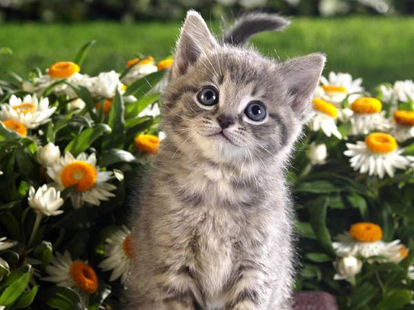 11.花畑でにっこり笑顔な猫を撮影した可愛い写真壁紙画像
