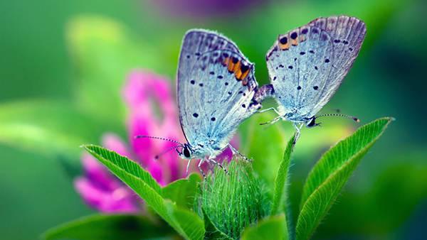 12.花の蜜を吸う二匹の蝶の綺麗な写真壁紙画像