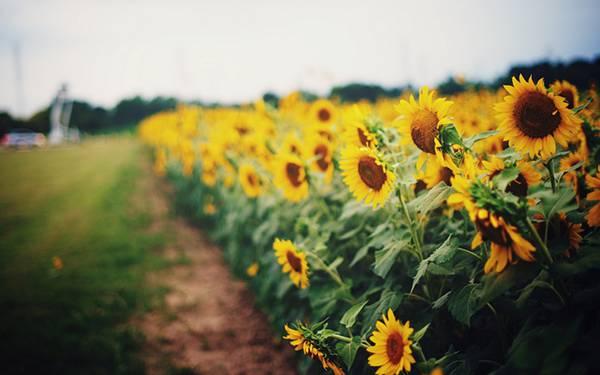 03.ひまわり畑のあぜ道を撮影した綺麗な写真壁紙画像