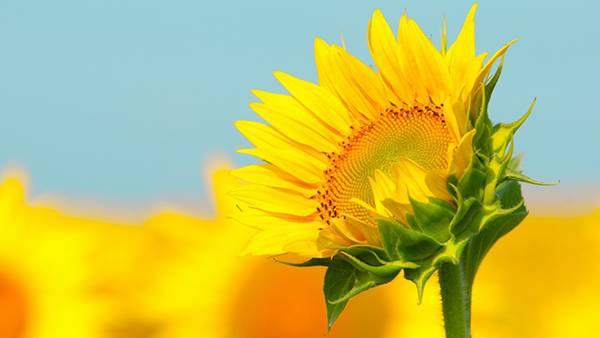 04.ヒマワリの花をアップで撮影した綺麗な写真壁紙画像