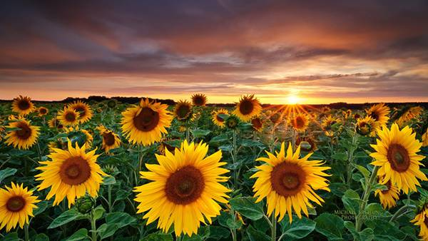 06.向日葵畑に沈む夕日を撮影した綺麗な写真壁紙画像