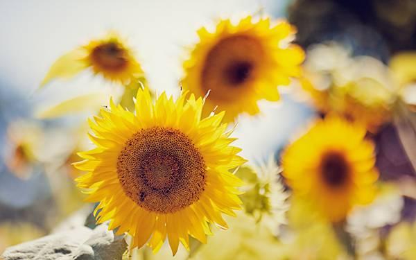 08.向日葵を浅い被写界深度で撮影した美しい写真壁紙画像
