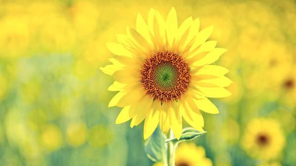 09.爽やかな黄色いのひまわりをアップで撮影した綺麗な写真壁紙画像