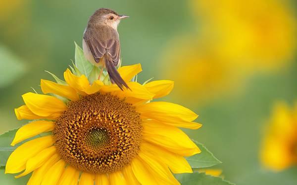 10.ひまわりの上にとまった小鳥を撮影した可愛い写真壁紙画像