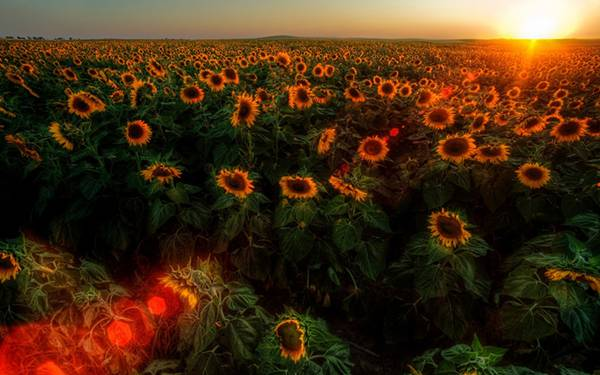 11.ひまわり畑に沈む真っ赤な夕日を撮影した綺麗な写真壁紙画像