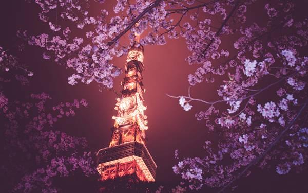 01.ライトアップされた東京タワーと夜桜の美しい写真壁紙画像