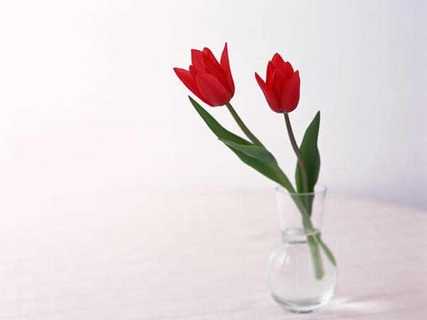 08.真っ赤なチューリップを撮影したシンプルで美しい写真壁紙画像