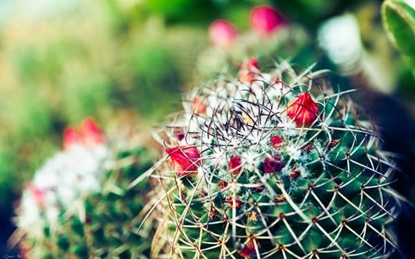 01.花の咲いたサボテンを浅い被写界深度でマクロ撮影した写真壁紙画像