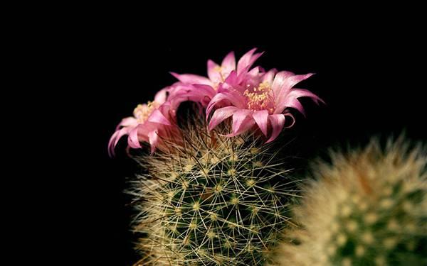 03.鮮やかなサボテンの花を黒バックで撮影した綺麗な写真壁紙画像