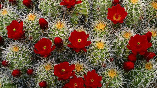 04.画面いっぱいの真っ赤な花を咲かせたサボテンの美しい写真壁紙画像