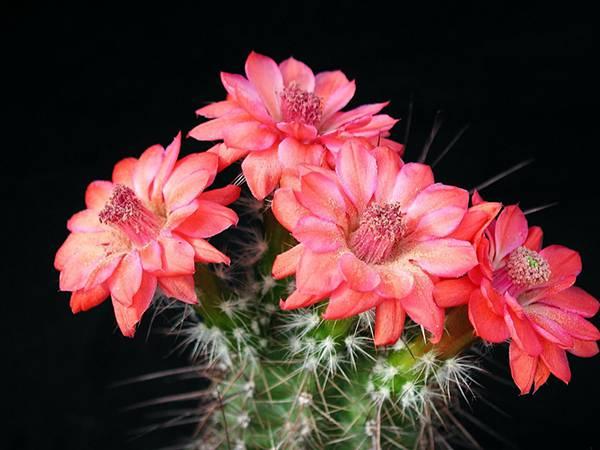 07.大きなピンク色の花を咲かせたサボテンの写真壁紙画像