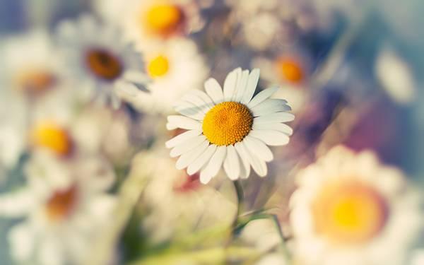 01.デイジーの花を撮影したカラフルでおしゃれな写真壁紙画像