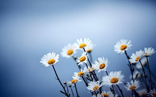 02.可愛いデイジーの花達を青い色調で撮影した綺麗な写真壁紙画像