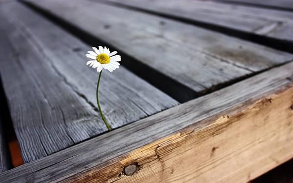 03.木の隙間に生えた小さなデイジーの花の可愛い写真壁紙画像
