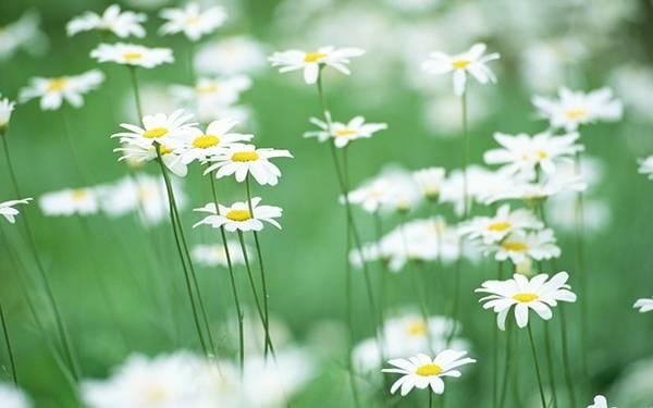 05.デイジーの花畑を浅い被写界深度で撮影したおしゃれな写真壁紙画像