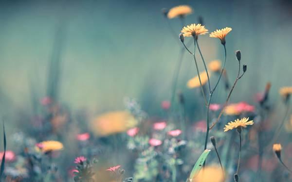 06.トイカメラ風の色調がおしゃれなデイジーの花の写真壁紙画像