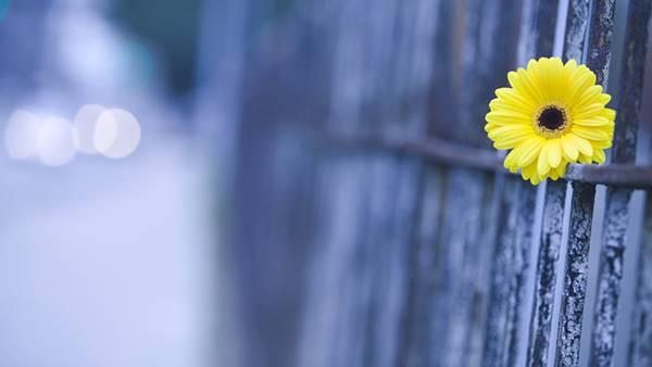 09.柵の上に置いた黄色いデイジーの花冠の可愛い写真壁紙画像