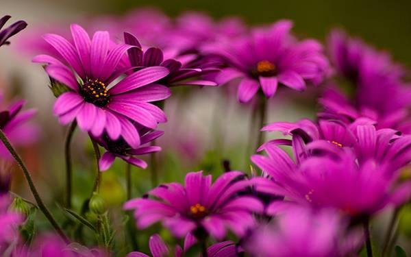 10.鮮やかな紫色のデイジーの花達を撮影した綺麗な写真壁紙画像