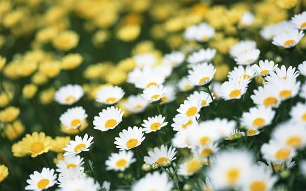 11.白と黄色のデイジーの花畑を撮影した可憐な写真壁紙画像