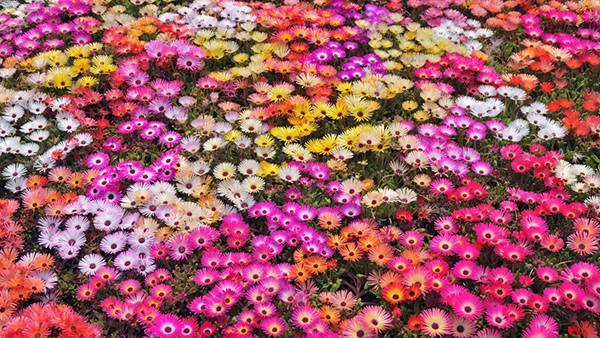 12.色とりどりのデイジーの花畑の美しい写真壁紙画像