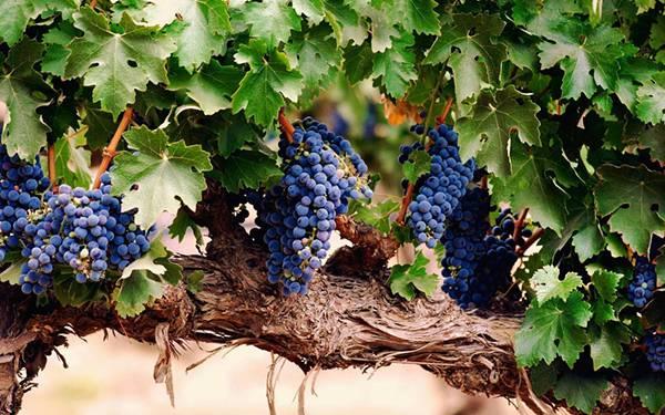 01.木に実った葡萄を撮影した綺麗な写真壁紙画像