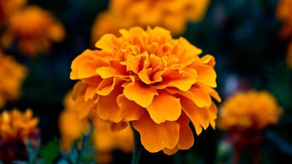 01.複雑に折り重なるマリーゴールドの花の綺麗な写真壁紙画像