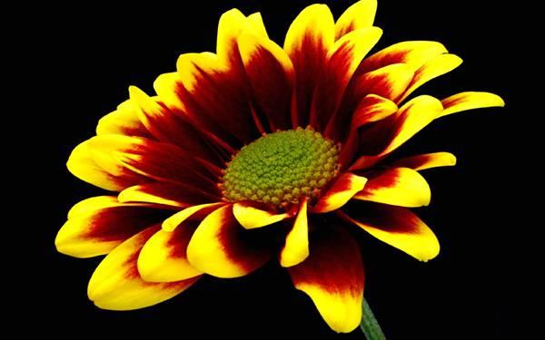 02.黒背景に鮮やかな黄色が映えるマリーゴールドの写真壁紙画像