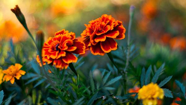 04.鮮やかなオレンジ色のマリーゴールドの花の写真壁紙画像