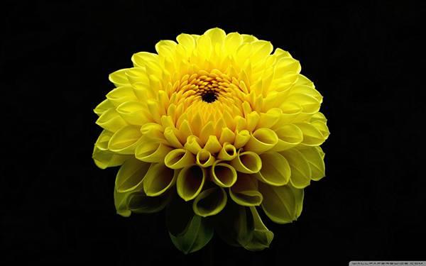 05.黄色いマリーゴールドの花の繊細で綺麗な写真壁紙画像